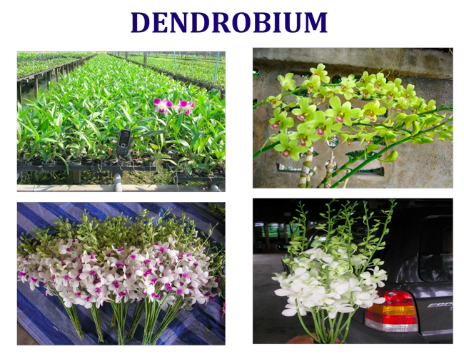 Commercial Cultivation Of Dendrobium Orchids In India Theagrihub Blog